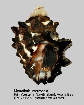 Menathais intermedia