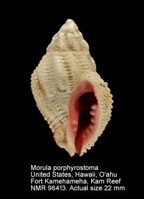Morula porphyrostoma