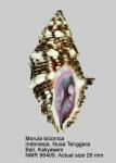 Morula biconica