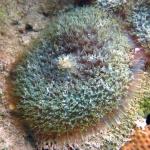 Discosoma sanctithomae= Rhodactis osculifera