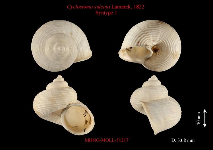 Cyclostoma sulcata Lamarck, 1822