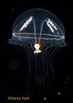 Eutonina indicans medusa; Canada, British Columbia