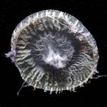 Zygocanna buitendijki medusa from mouth of Brunswick River, New South Wales, Australia