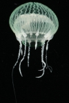 Zygocanna buitendijki subadult medusa from mouth of Brunswick River, New South Wales, Australia