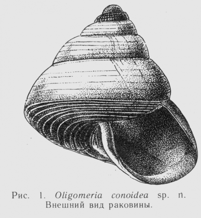 O. conoidea
