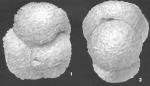 Ammosphaeroidina grandis Cushman identified specimen