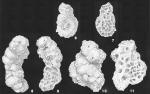 Haddonia torresiensis Chapman identified specimen