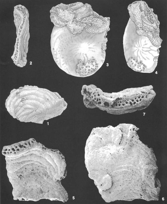 Bdelloidina aggregata Carter identified specimen