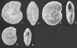 Cyclammina subtrullissata (Parr) identified specimen