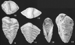 Spiroplectinella kerimbaensis (Said) identified specimen