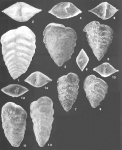 Spiroplectinella pseudocarinata (Cushman) identified specimen