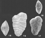 Spiroplectinella wrightii (Silvestri) identified specimen