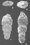 Vulvulina sinensis Zheng identified specimen