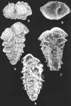 Spirotextularia fistulosa (Brady) identified specimen