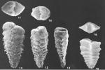 Spirotextularia floridana (Cushman) identified specimen