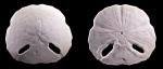 Echinodiscus truncatus