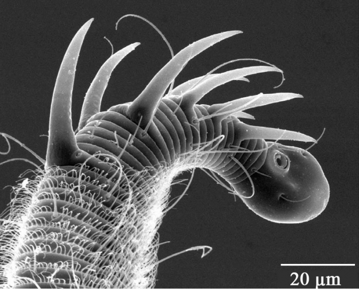 Glochinema spinithorni