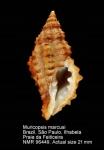Muricopsis marcusi