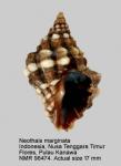 Neothais marginatra