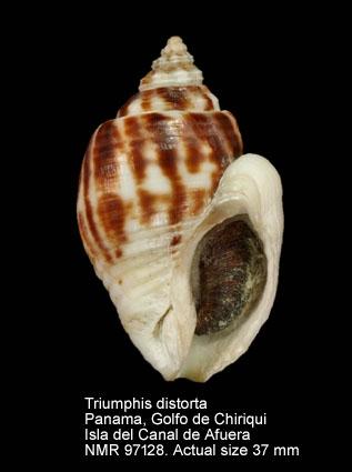 Triumphis distorta