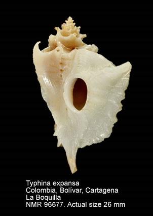 Typhina expansa
