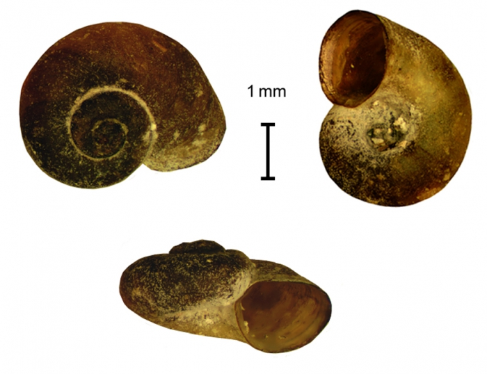 Choanomphalus mongolicus shell