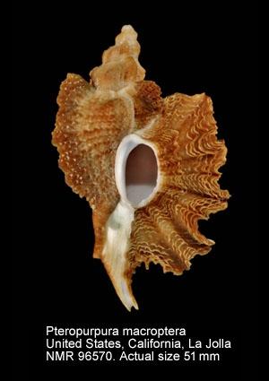 Pteropurpura macroptera