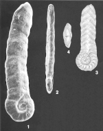 Duquepsammiaearlandi (Barker) identified specimen