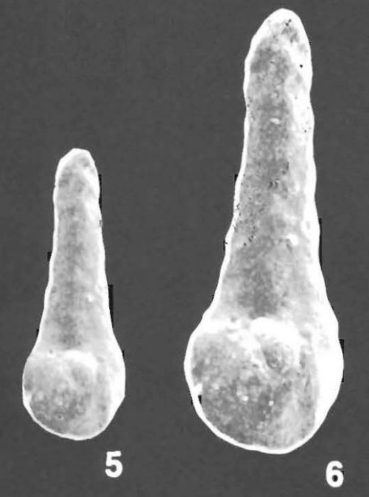 Duquepsammia bulbosa (Cushman) identified specimen