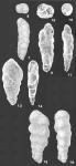Prolixoplecta pusilla (Parr) identified specimen