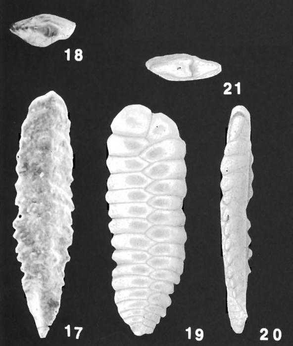 Plotnikovina timorea Loeblich & Tappan paratypes