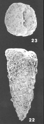 Gaudryina quadrangularis Bagg identified specimen