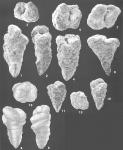 Gaudyrina attenuata Chapman identified specimen