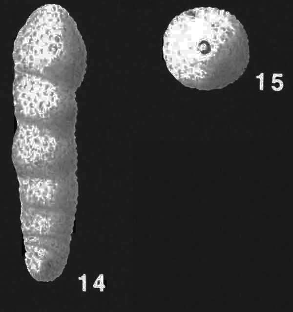 Martinottiella milletti (Cushman) identified specimen
