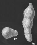 Pseudoclavulina novangliae (Cushman) identified specimen