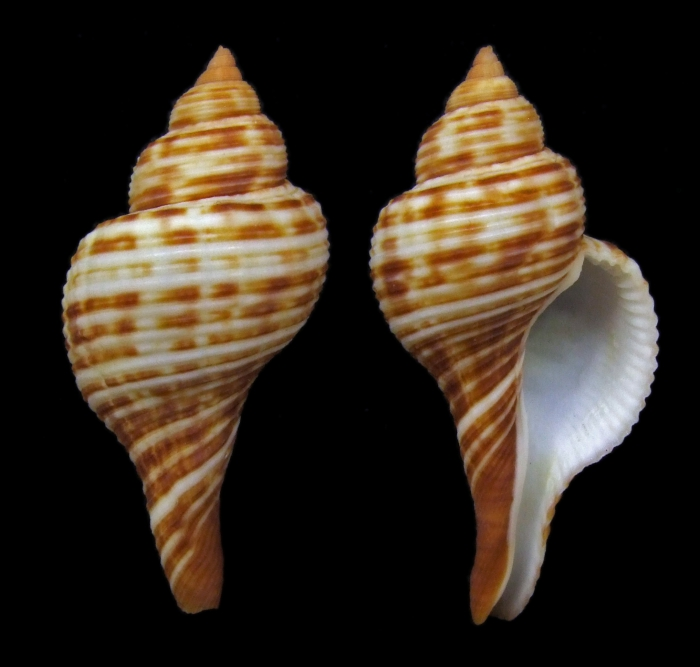 Taphon clavella (Reeve, 1847)