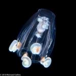 Cytaeis tetrastyla, medusa; from Florida, western Alantic