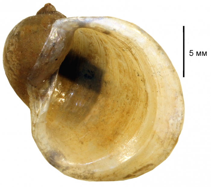 Ampullaceana ampla shell