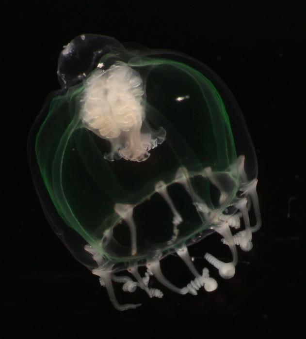 Leuckartiara octona medusa, Bay of Villefranche, Mediterranean, 25.04.2016