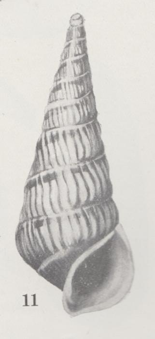Rissoina royana (Iredale, 1924)