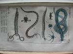Bosc original plate 5, Polydora cornuta fig 7 & 8