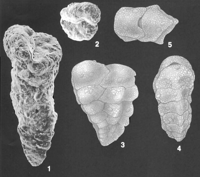 Gaudryina wrightiana Millett identified specimen