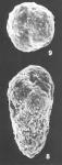 Verneuilinulla advena (Cushman) identified specimen