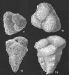 Migros flintii (Cushman) identified specimen