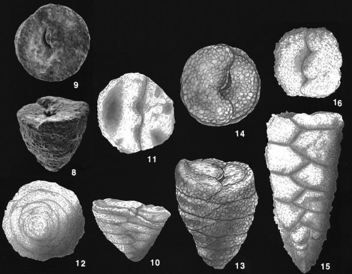 Textulariella simplex Cushman identified specimens