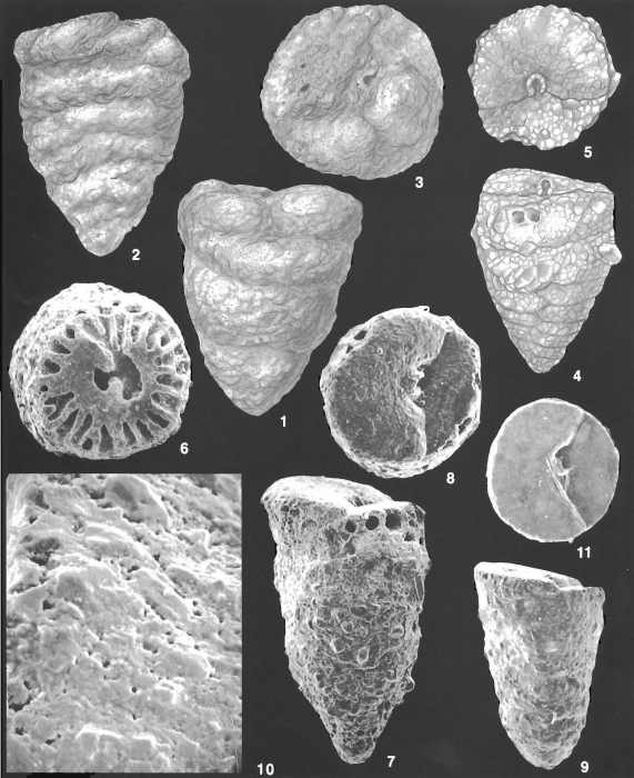Textulariella parvacycla Loeblich & Tappan Holotype and Paratype specimens