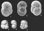 Ammoglobigerina globulosa (Cushman) identified specimen