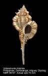 Vokesimurex kiiensis