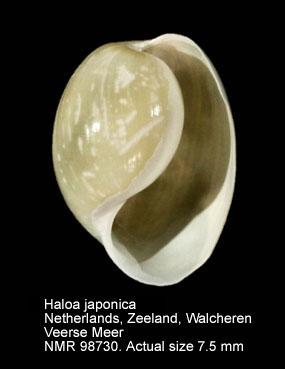 Haminoea japonica