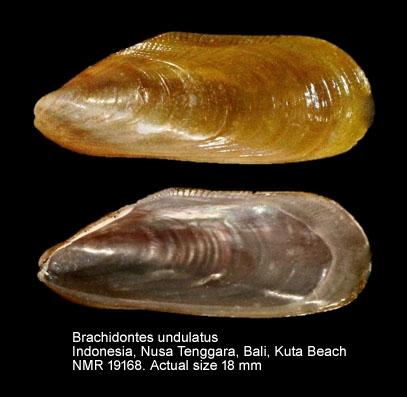 Brachidontes undulatus